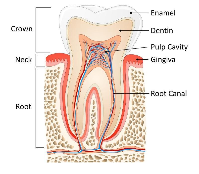 Diagram of tooth and root structure at West Greeley dentist office