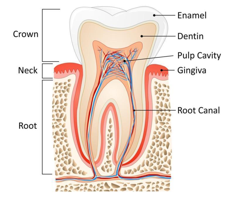 Greeley, CO root canal diagram at Norco Family Dental